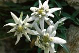 alpine_edelweiss-blume_-hautschuetzend_alpengel_ice-cool.png